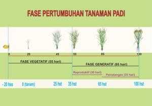 fase pertumbuhan padi