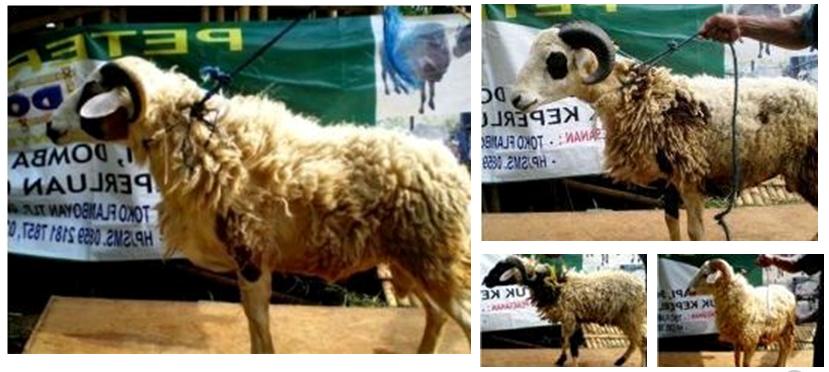 Mengetahui Jenis Jenis Kambing Dan Domba Di Indonesia Organic Hcs