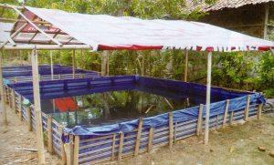 contoh kolam terpal lele