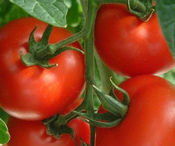 Unsur hara makro dan mikro yang dibutuhkan oleh tanaman organic hcs tomat merah ccuart Images
